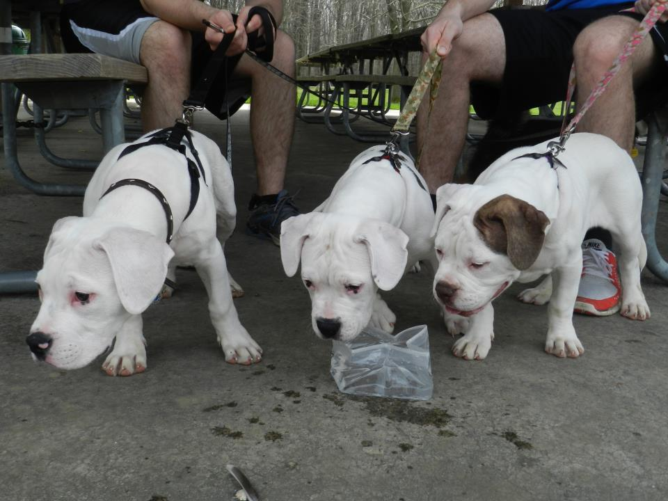 American Bulldog Puppies For Sale Bruiser Bulldogs