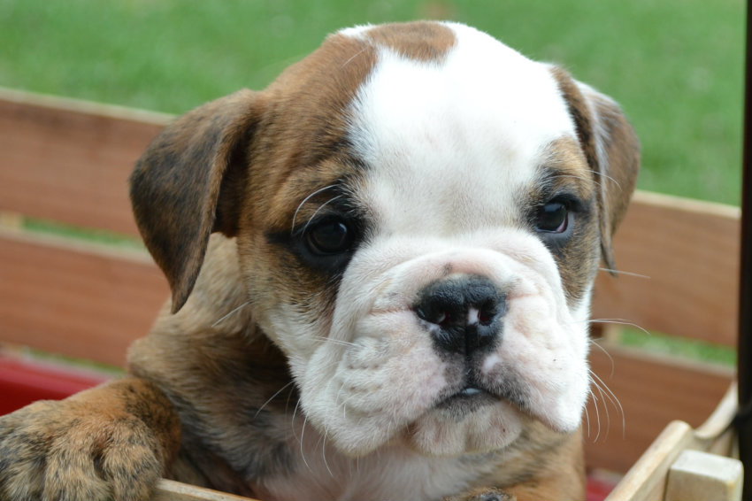 english bulldog without papers for sale How much do english bulldogs cost  i'm planning to give the dog to my boy as present but i'm not sure if that's a good price for a dog without papers .