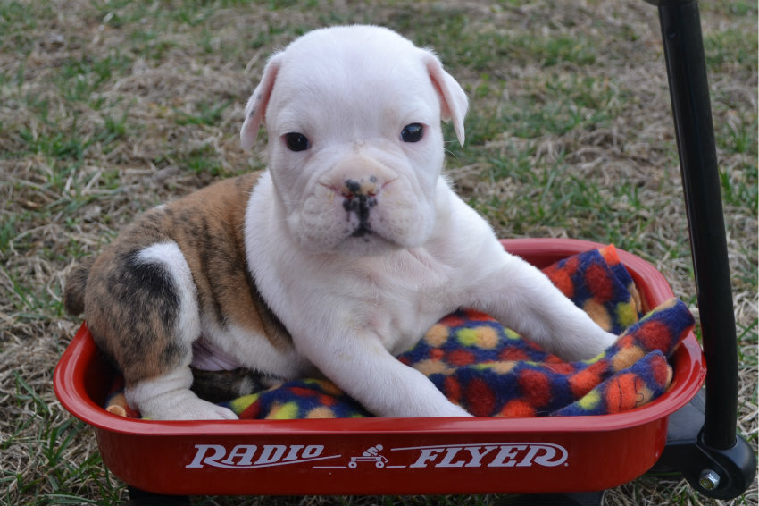 Gray Breed English Bulldog
