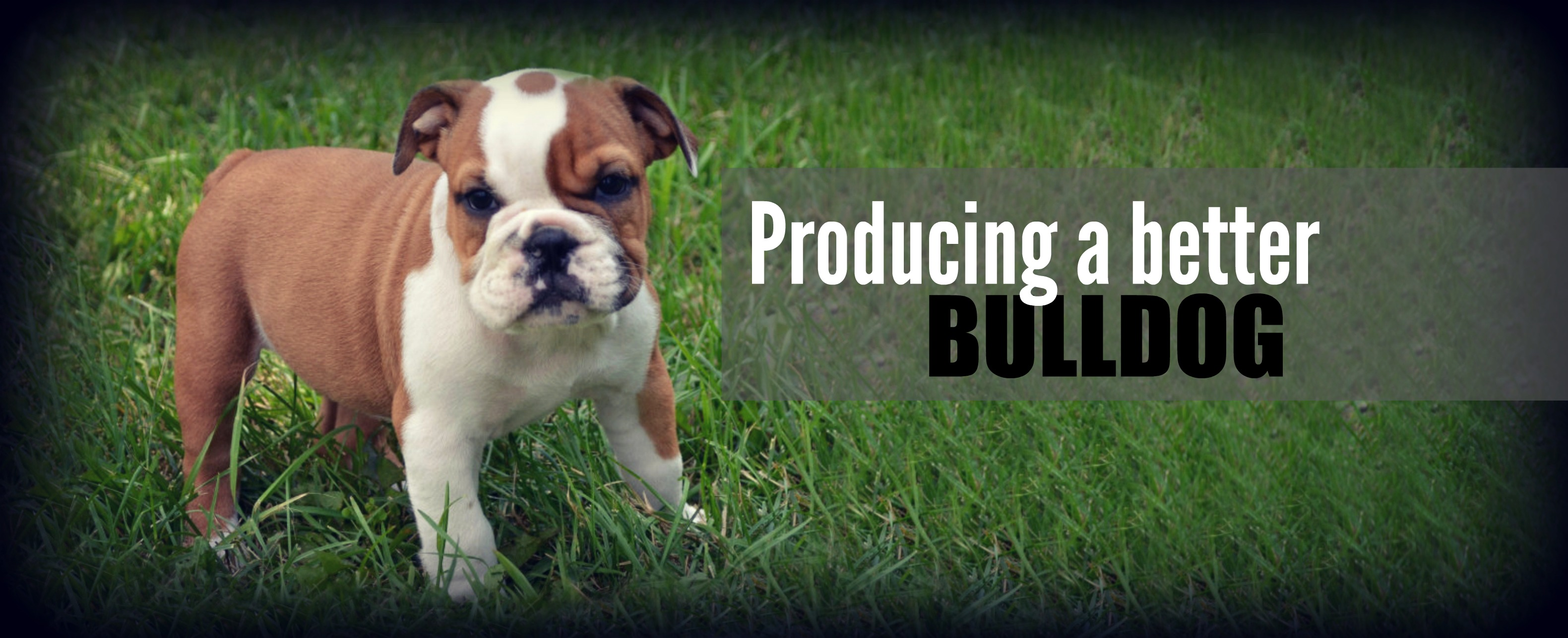 english bulldogs for sale with papers Review how much english bulldog puppies for sale sell for below the current median price for all english bulldogs sold is $2,12250 this is the price you can expect to budget for an english bulldog with papers but without breeding rights nor show quality.