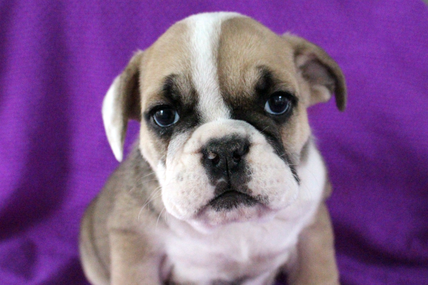 english bulldog puppies for sale without papers