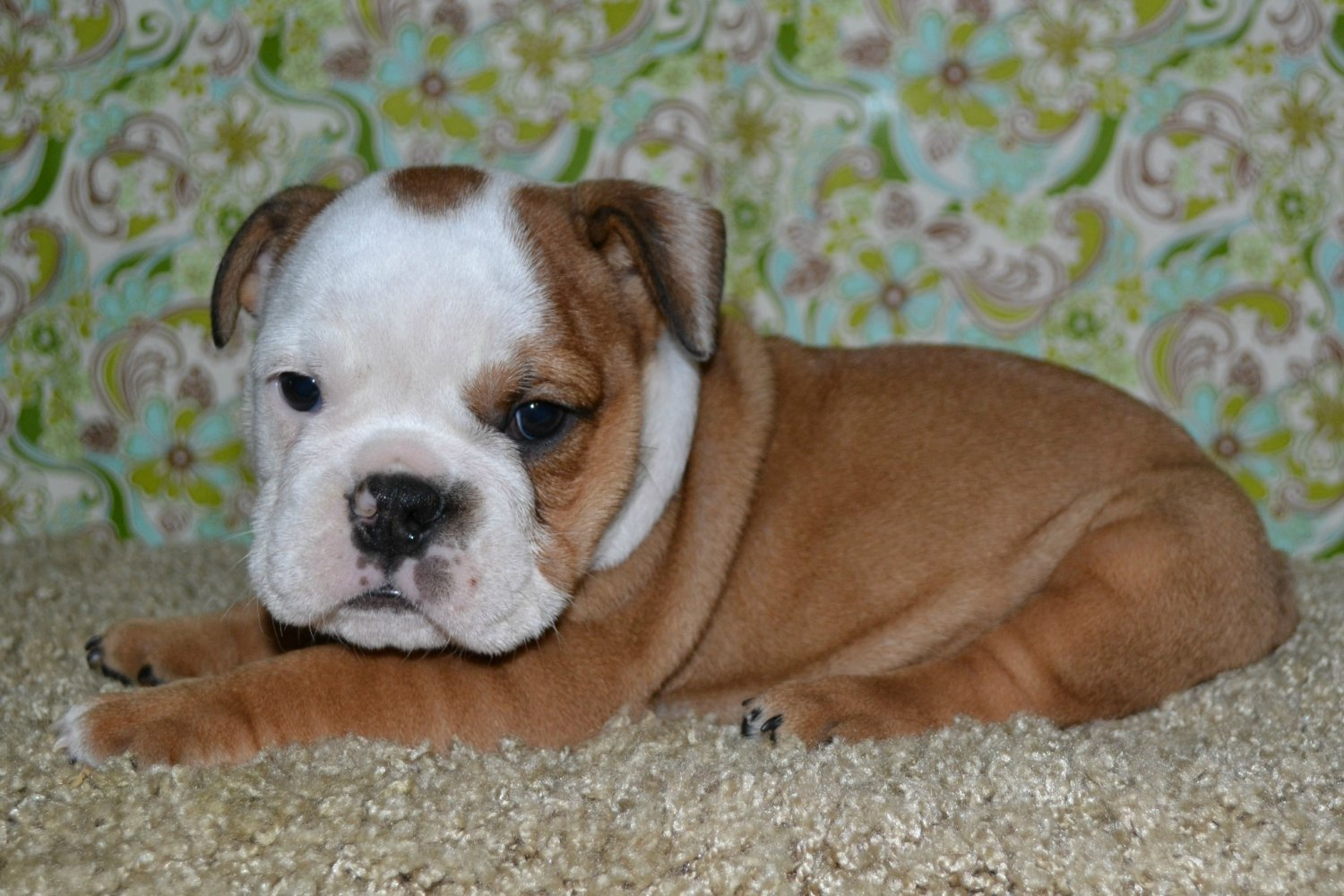 Previous American Bulldogs Puppies For