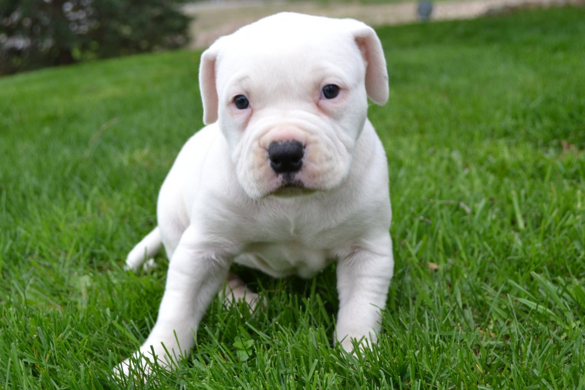 american bull dog puppy pictures