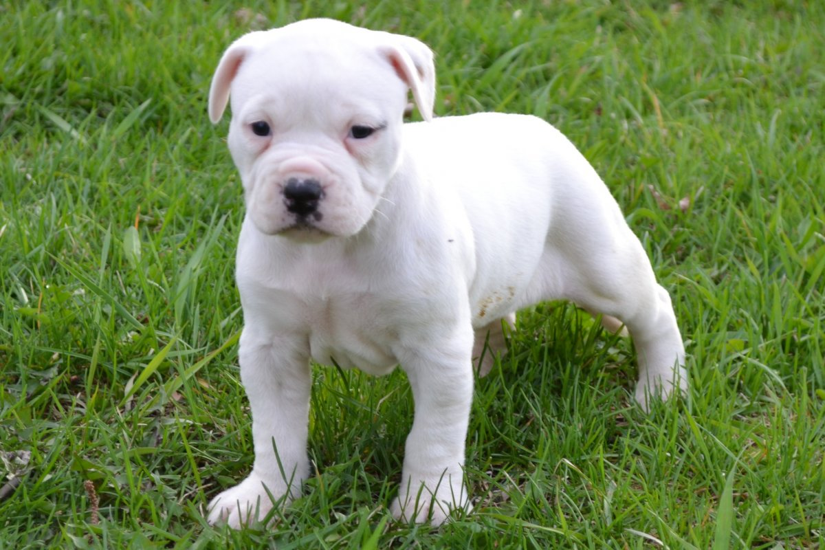 Bully Type Dogs For Sale