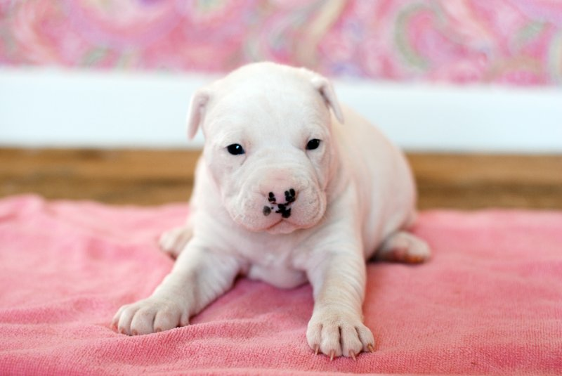 English Bulldog Puppy for Sale | American Bulldog Puppies