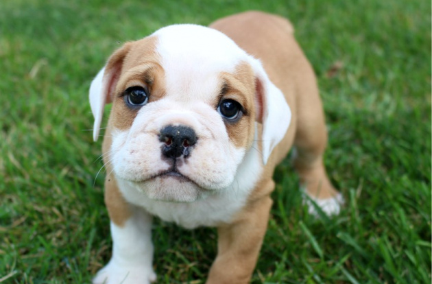 English Bulldog Puppies For Sale | Bulldog Pups For Sale