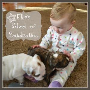Bulldog socialization