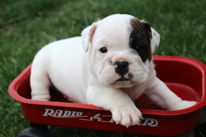Stages Of Your English Bulldog Bruiser Bulldogs