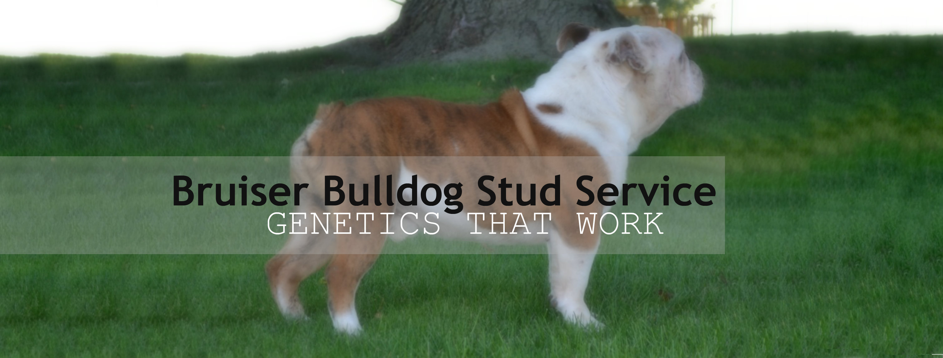 English Bulldog Stud Service For Genetically Healthy Puppies