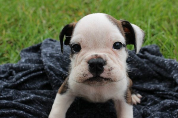 finding the righ English Bulldog Puppy for your family