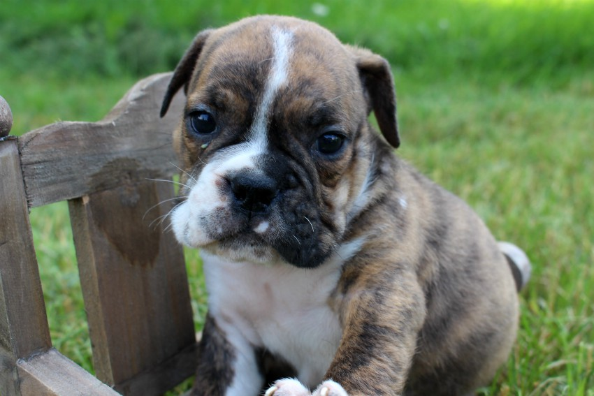 English Bulldog Puppies For Sale | Bulldog Pups For Sale