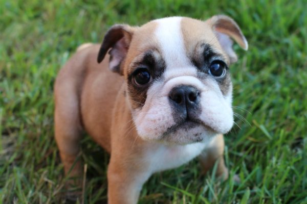 Bruiser Bulldog health and what that means for you