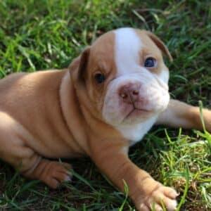 Potty Training your Bulldog