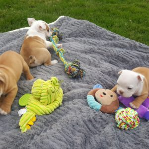Doggy day care for a healthy english bulldog