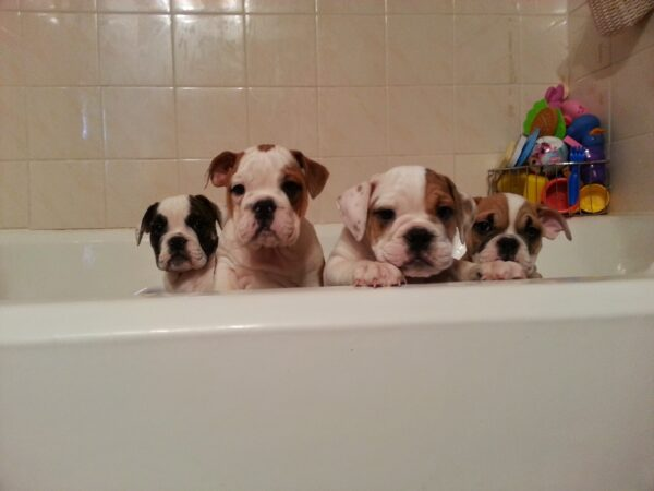 How to give your bulldog puppy a bath